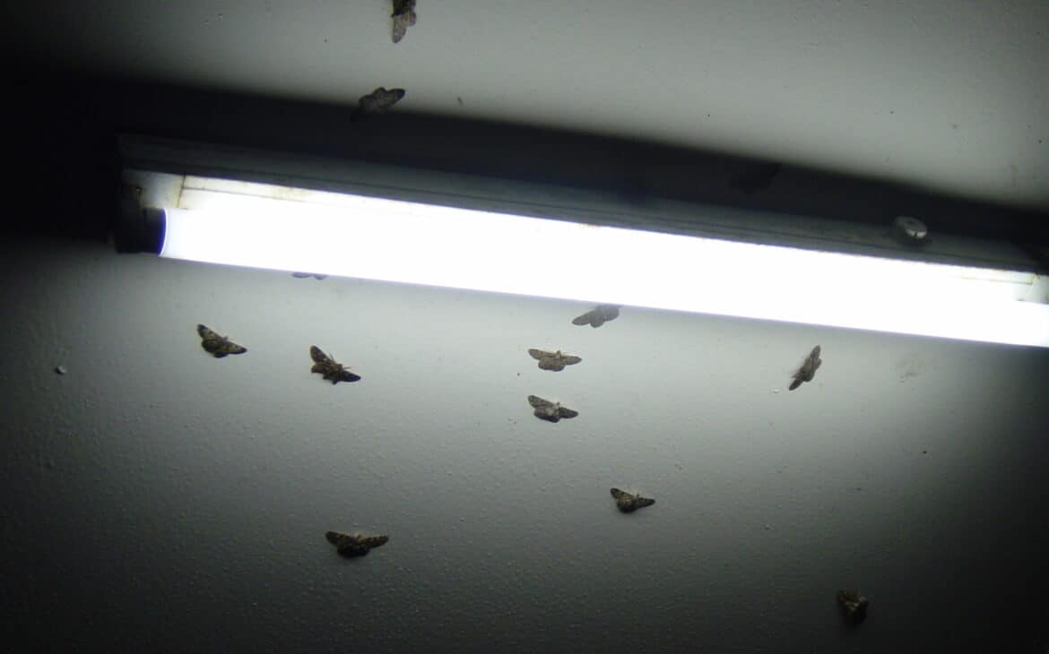 LED lights attracting bugs in the ceiling